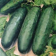 Cucumber Marketmore - 20 Seeds / 120 seeds